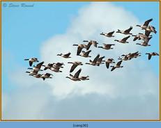 canada-goose-30.jpg