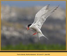 common-tern-09.jpg