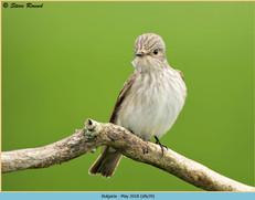 spotted-flycatcher-39.jpg
