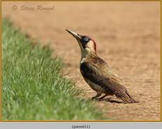 green-woodpecker-11.jpg