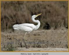 great-white-egret-28.jpg