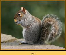 grey-squirrel-11.jpg