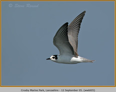white-winged-black-tern-05.jpg