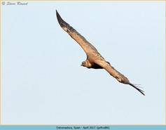 griffon-vulture-86.jpg
