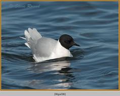 little-gull-38.jpg
