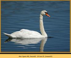 mute-swan-03.jpg