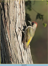 green-woodpecker-23.jpg