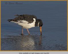 oystercatcher-44.jpg