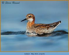 red-necked-phalarope-19.jpg