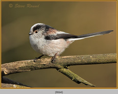 long-tailed-tit-64.jpg