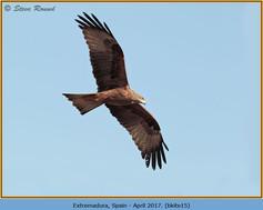 black-kite-15.jpg