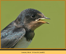 swallow-03.jpg