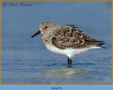 sanderling-74.jpg