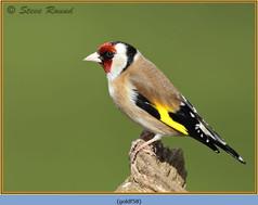 goldfinch-58.jpg