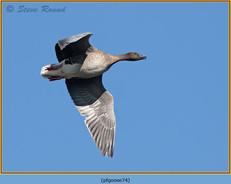 pink-footed-goose-74.jpg