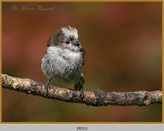 long-tailed-tit-52.jpg