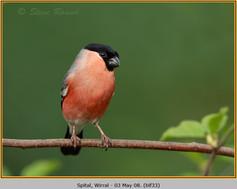 bullfinch-33.jpg