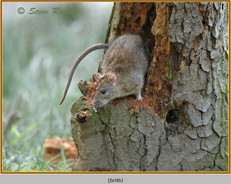 brown-rat-06.jpg