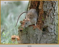 brown-rat-06.jpg