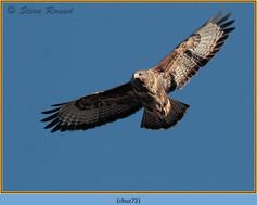 buzzard- 72.jpg