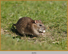 brown-rat-05.jpg