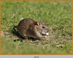 brown-rat-05.jpg