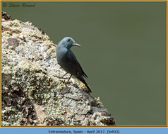 blue-rock-thrush-03.jpg