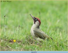 green-woodpecker-41.jpg
