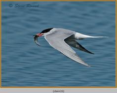 common-tern-33.jpg