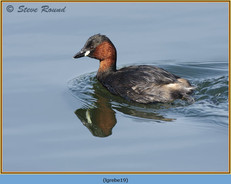 little-grebe-19.jpg