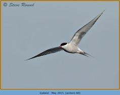 arctic-tern-60.jpg
