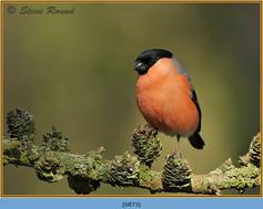 bullfinch-73.jpg