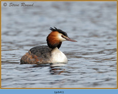 great-crested-grebe-41.jpg