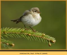 willow-warbler-06.jpg