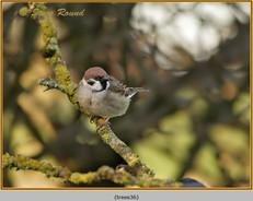 tree-sparrow-36.jpg