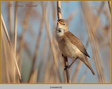 reed-warbler-16.jpg