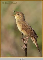 grasshopper-warbler-32.jpg