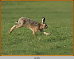 brown-hare-57.jpg