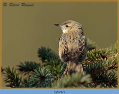 grasshopper-warbler-57.jpg
