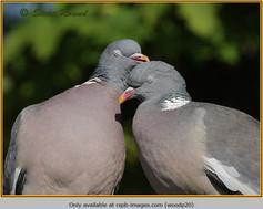 wood-pigeon-20.jpg