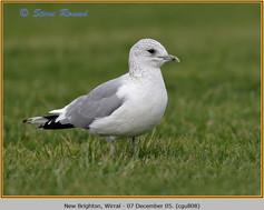 common-gull-08.jpg