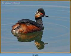 black-necked-grebe-11.jpg