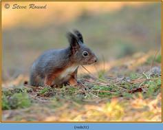 red-squirrel-31.jpg