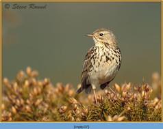 meadow-pipit-37.jpg