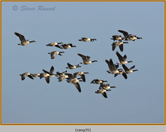 canada-goose-35.jpg