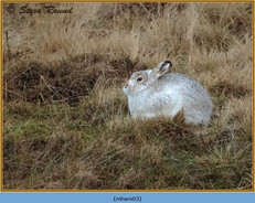 mountain-hare-03.jpg