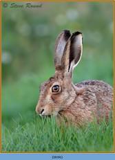 brown-hare-96.jpg