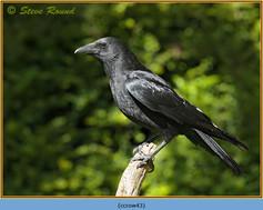 carrion-crow-43.jpg