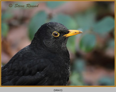 blackbird-63.jpg