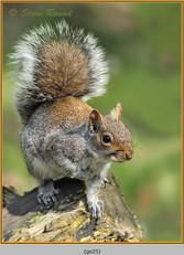 grey-squirrel-25.jpg